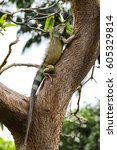 Green Iguana Climbing A Tree ...