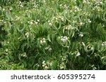 Heptacodium Miconioides Or...
