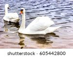 whooper swans swims on the... | Shutterstock . vector #605442800