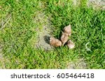 Dog Droppings In The Grass On...