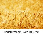 fields of wheat at the end of... | Shutterstock . vector #605483690