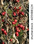 Small photo of Acer japonicum 'Aconitifolium' or Japanese maple