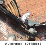 pigeon the dove of peace white... | Shutterstock . vector #605488868