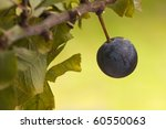 slow growing sloe berry - stock photo