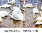 whooper swans swims on the... | Shutterstock . vector #605507828