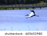 Wood Stork Flying On Water At...