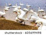 whooper swan flaps wings on... | Shutterstock . vector #605699498
