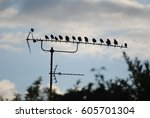 Small photo of Flock of birds perched on a T.V aerial