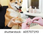 Stock photo a beautician treats shiba inu dogs nails with a nail file 605707193