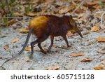 Golden Rumped Elephant Shrew. ...