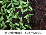 young green seedlings plants... | Shutterstock . vector #605743970