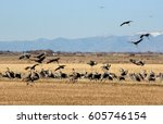 Sandhill Cranes Landing And...