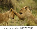 lion cubs in playful mood at... | Shutterstock . vector #605762030