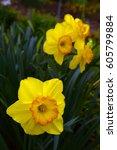 Beautiful Spring Daffodils...