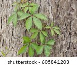 Poison Ivy On Tree