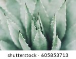 pale green aloe agave cactus... | Shutterstock . vector #605853713