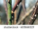 spikes of wild rose. prickly... | Shutterstock . vector #605868329