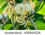 Banana Tree With A Bunch Of ...