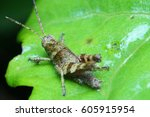 A Grasshopper Is Resting On A...