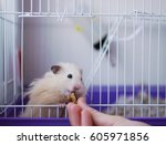 Stock photo a hamster in a cage hamster eats with his hands looking out of the cell 605971856
