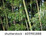 bamboo plant in japanese garden | Shutterstock . vector #605981888