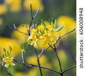 sunny yellow rhododendrons... | Shutterstock . vector #606008948