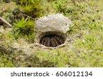 Small photo of trap door spider in burrow. spider making nest underground.