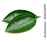 citrus leaves isolated on white ...   Shutterstock . vector #606022694