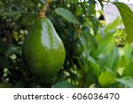 Avocado Tree With Avocado Fruit ...