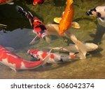 Carp Fish Swim In The Pool.