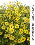 Helianthus Microcephalus Lemon...