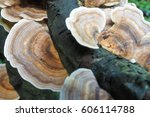 Bracket Fungus On A Rotting...