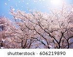 magnificent  scene of cherry... | Shutterstock . vector #606219890