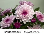 Chrysanthemum Pink Or Purple