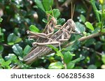 Small photo of Mating of American grasshopper