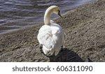 White trumpeter swan with orange beak standing on beach shore enjoying sun, ankle tag