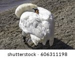 White trumpeter swan tucking head into body to sleep at waters edge, one eye open peeking