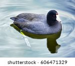 American Coot Duck In A Pond....