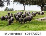 iberian pig herd pasturing in a ... | Shutterstock . vector #606473324
