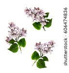 Set Of Lilac Branches Isolated...