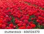 tulip. beautiful bouquet of...   Shutterstock . vector #606526370