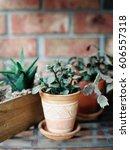 jade succulent in a small terra ...   Shutterstock . vector #606557318