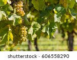 ripe sauvignon blanc grapes on... | Shutterstock . vector #606558290