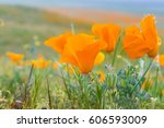 Close Up Of California Poppies...