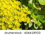 Wet Yellow Flower Cluster On A...