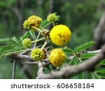 Small photo of Flower - Sweet Thorn (Acacia Seyal)