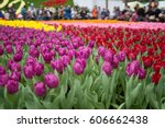 The Tulip In Flower Show 2017...