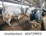blue belgian cow in free... | Shutterstock . vector #606729893