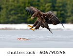 White Tailed Eagle With Catch...