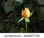 Yellow Orange Rose Flower On A...